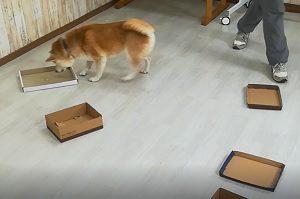 ノーズワーク 柴犬ちゃんがオヤツを見つけて食べる様子