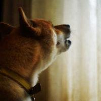 吠える柴犬
