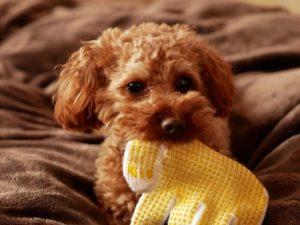 手袋を噛じる子犬