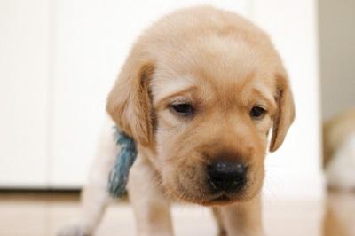 不安そうなラブラドールレトリバーの子犬