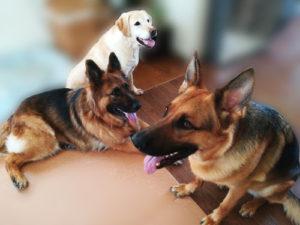 3頭の大型犬