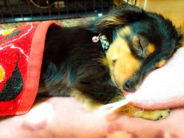 ぐっすり眠る犬