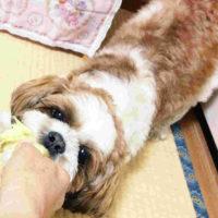 引っ張りっこ遊びをする犬