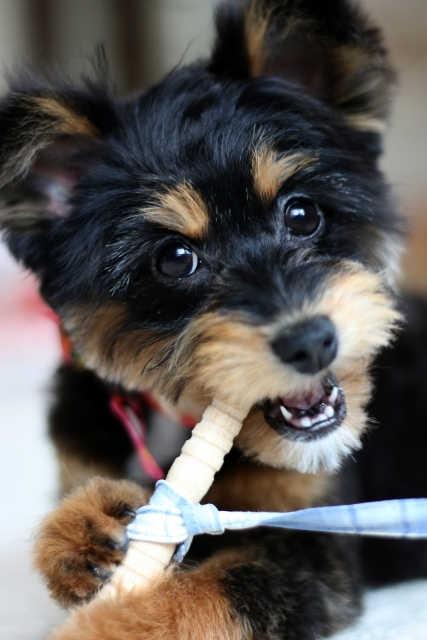 骨ガムをかじる犬
