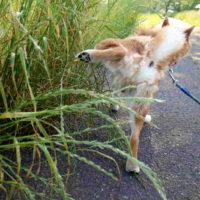 排泄する柴犬