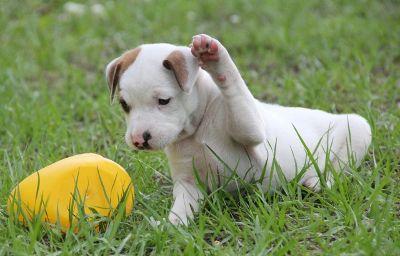 おもちゃで遊ぶ子犬
