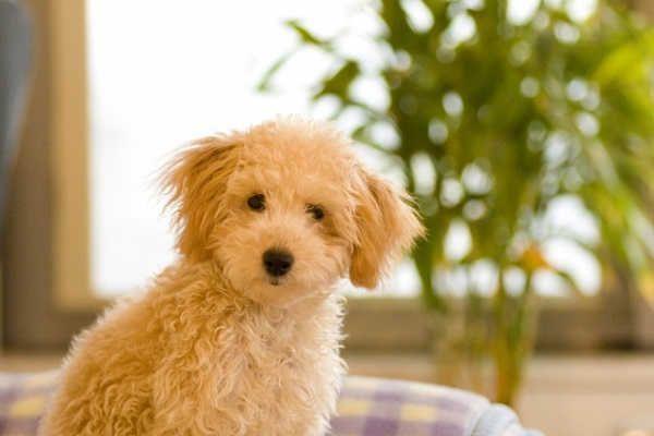 トイプーの子犬