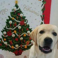 クリスマスツリーとラブラドールレトリバーの子犬