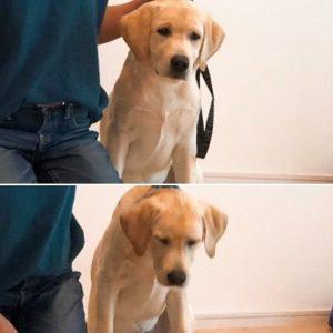 お辞儀をするラブラドールレトリバーの子犬