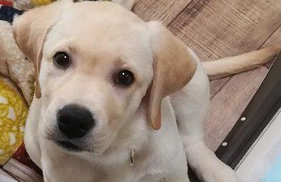 首をかしげるラブラドールレトリバーの子犬