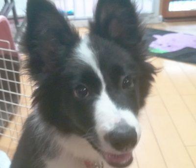 ボーダーコリーの子犬、あさちゃん