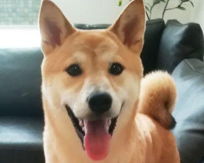 笑顔でこちらを見つめる柴犬のすずちゃん