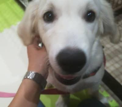ゴールデンレトリーバーの子犬、龍くん