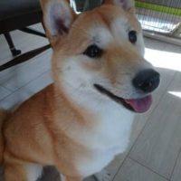 柴犬のココちゃん
