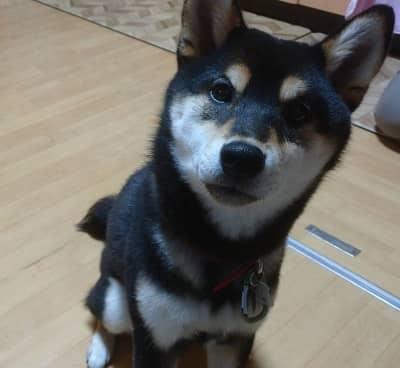 柴犬のコロちゃん