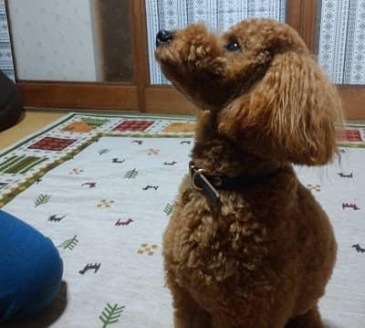 トイプードルの子犬、もずく君
