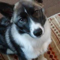 ボーダーコリーとシベリアンハスキーのミックス犬、ルナちゃん